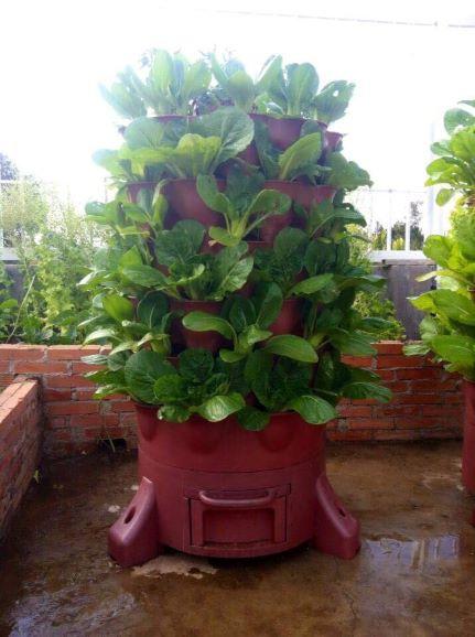 Vườn tháp trồng cải