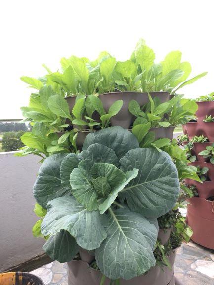 Trồng rau bắp cải